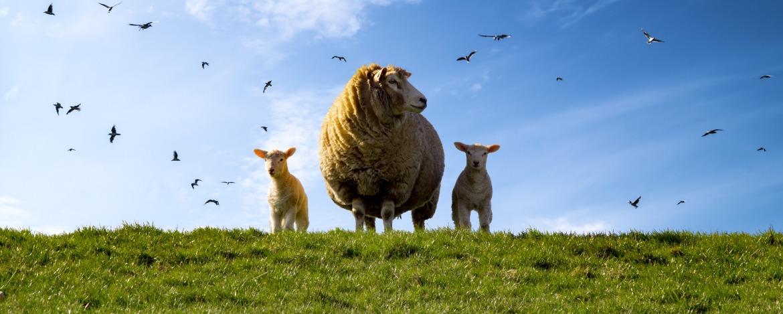 Schafe am Deich in Glückstadt