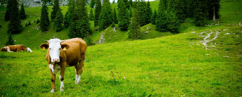 Eine Alm ohne Kühe ist keine Alm