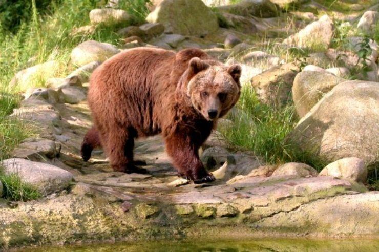 Braunbär im Tierpark Thale auf dem Hexentanzplatz