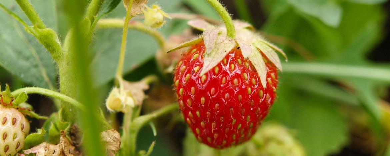 Die Erdbeere gehört zu den Nussfrüchten?