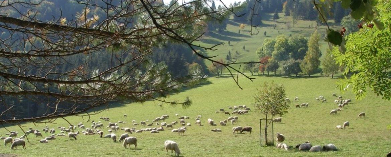 Schafe auf der Schwäbischen Alb
